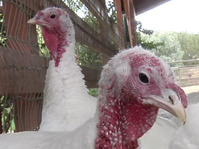 In Calif., push for turkeys as pets, not food