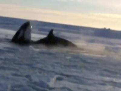 Raw: Whales trapped under ice in Canada
