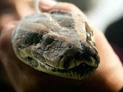 Fla. Python Challenge proves to be just that