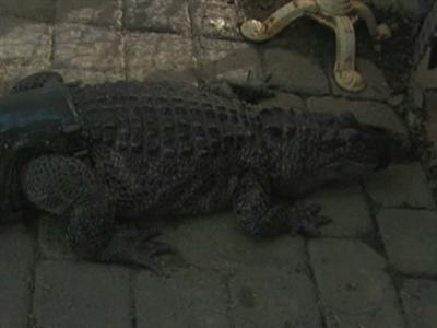Gator learning to move with prosthetic tail