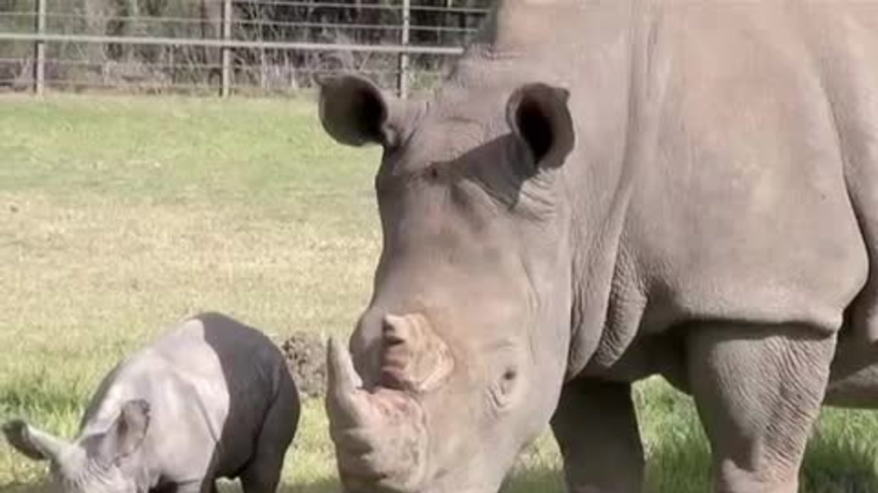 Zoo: White rhino birth 'sign of hope'