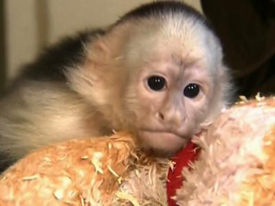 Raw: Justin Bieber's monkey finds new home