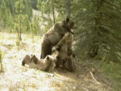Raw: Bears frolic when no one is looking