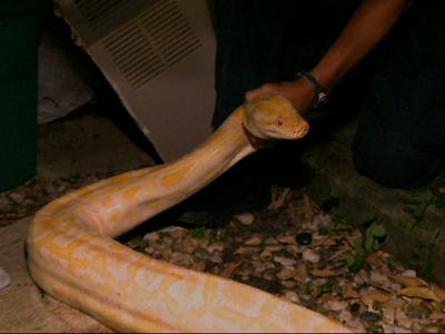 Raw: Huge python found hiding in Florida shed