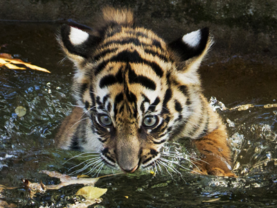 Tiger cubs pass swim tests at National Zoo