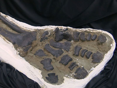 'Dueling Dinos' found in US to be sold in NYC