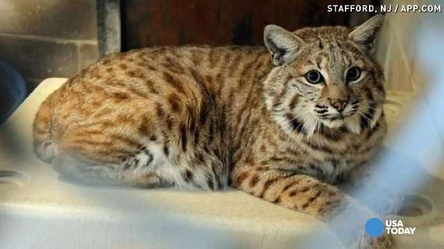 Ocelot Cat Mix For Sale