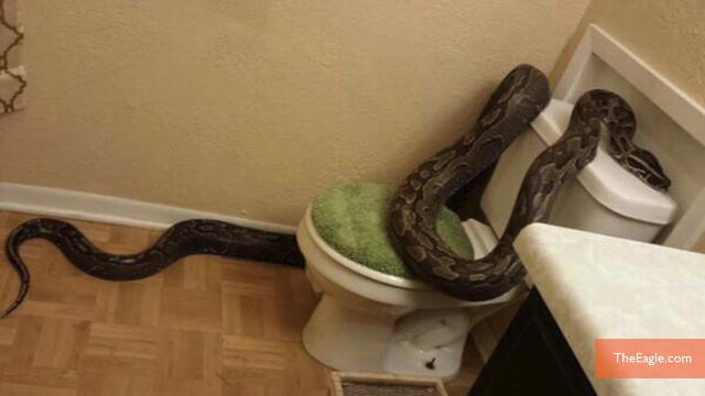Woman finds 12-Foot Python in bathroom