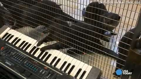 Watch these zoo otters tickle the ivories