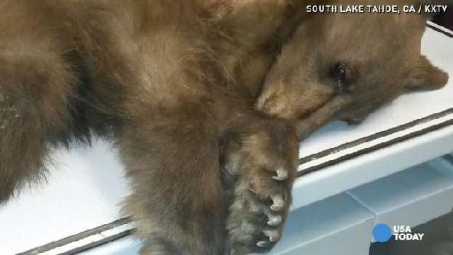 'Heavenly' the Bear rescued on ski slopes gets new home