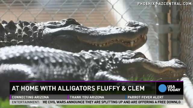 'Angry' gator finds love with 'Fluffy'