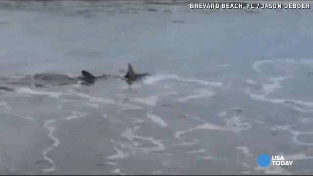 Caught on Camera: Large shark swims along shoreline