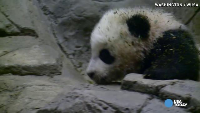 It's a girl! Baby panda is a female