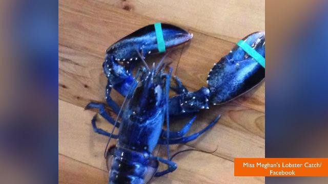 Teenager catches extremely rare blue lobster