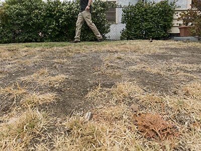 In drought, Californians remove lawns for cash