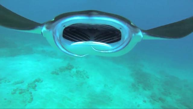 Diver captures video of inside a manta ray's mouth