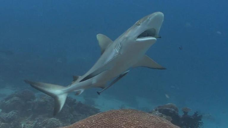 Sharks off the menu and on the tourist trail in Palau