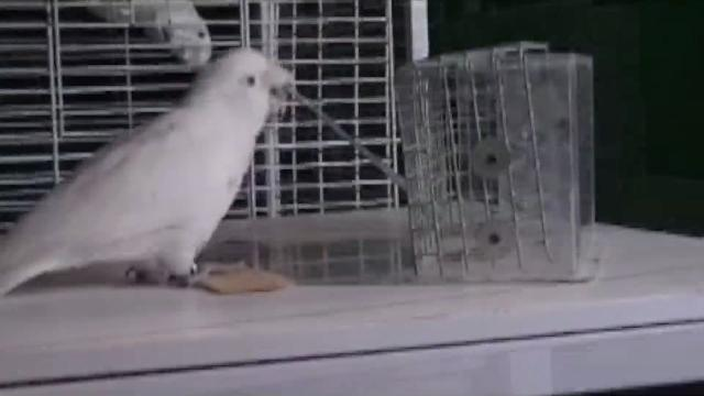 Tool-Making cockatoo teaches other birds its skills
