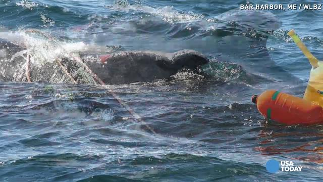 Rescuers free whale entangled in fishing gear for Free fishing stuff