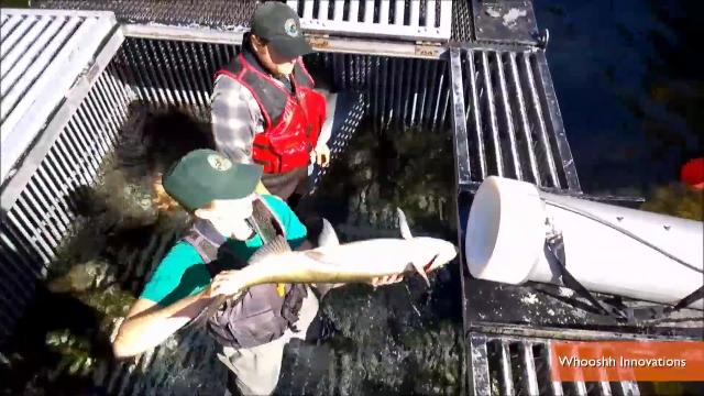 Washington state testing 39 salmon cannon 39 to help fish migrate for Cannon fish company