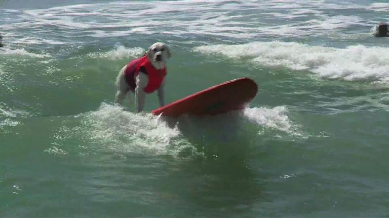 Annual dog surfing competition draws California crowds