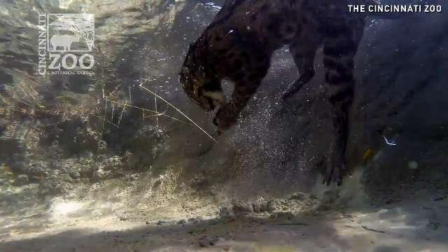 Watch kitty go fishing for food under water for Cats go fishing
