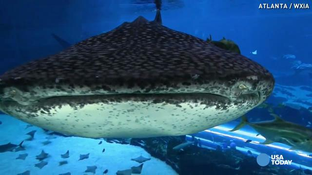 Come face to face with massive whale sharks