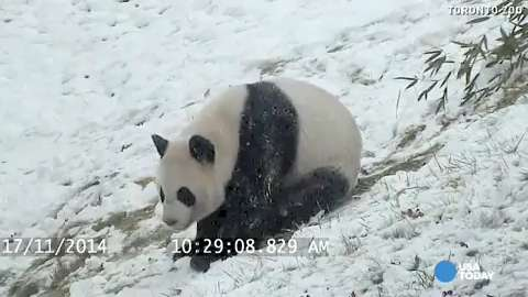Watch excited panda tumble around in fresh snow