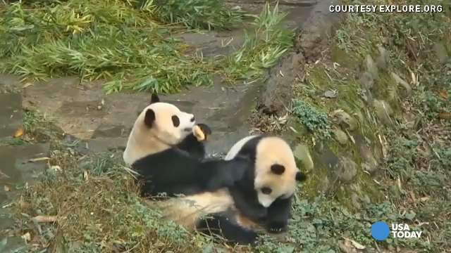 Panda bear mom refuses to share her bread with cub