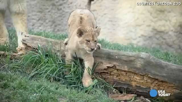 Adorable lion cubs romp and play in their new habitat