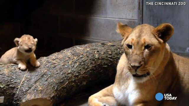 See this adorable lion cub roar, cuddle with mom