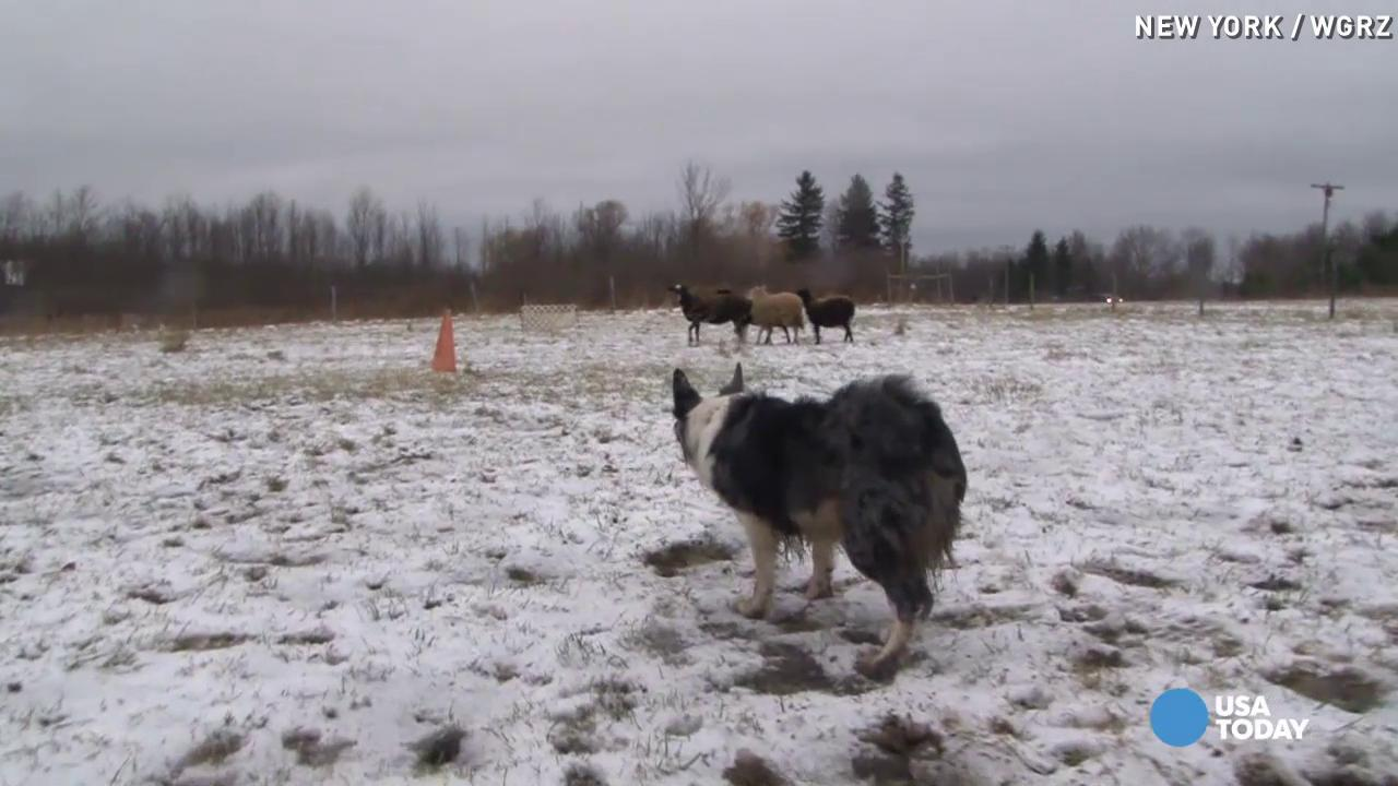 These dogs herd sheep for points