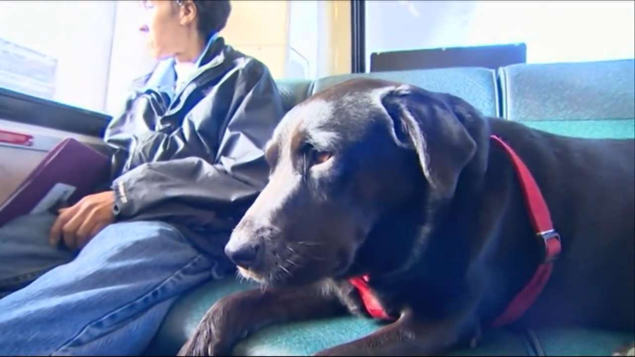 Black lab owns the Internet with solo bus ride