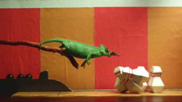 Bowling chameleons use their tongues to knock pins down