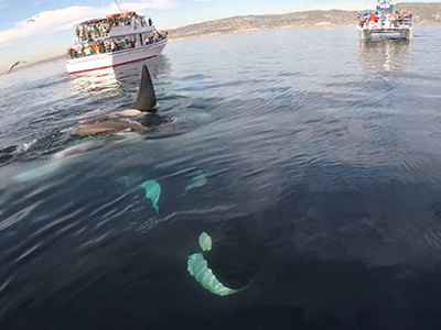 Raw: Man captures up-close encounter with orcas