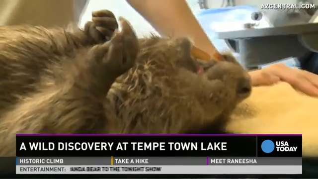 See the 44-lb beaver that vet called a 'fat mess'