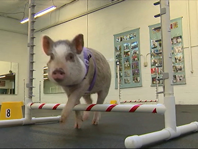Pig is 'top dog' in canine agility class