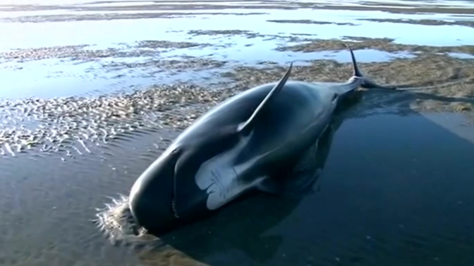 Mass whale stranding in NZ, some 25 dead