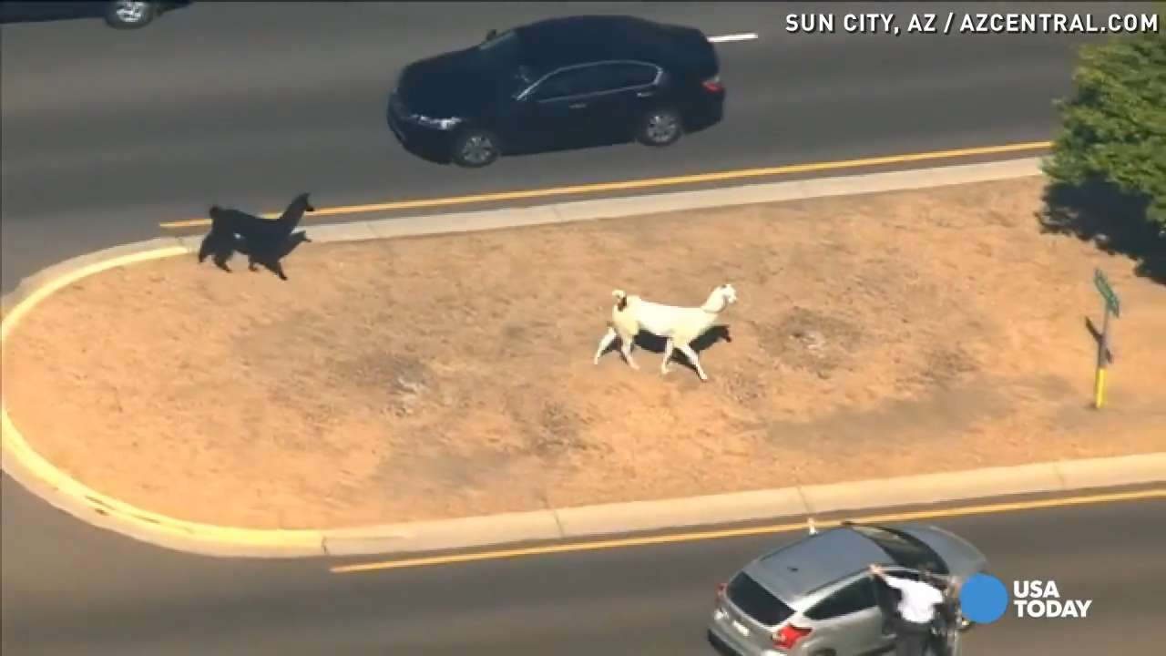 Llamas on the loose in Sun City.