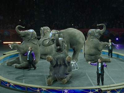 Joe Rondone/Democrat An elephant named Asia is paraded around at the Ringling Brothers and Barnum and Bailey Circus at the Donald L. Tucker Civic Center Jan. 8, 2015.