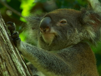 Heat-seeking drones keep tabs on koalas