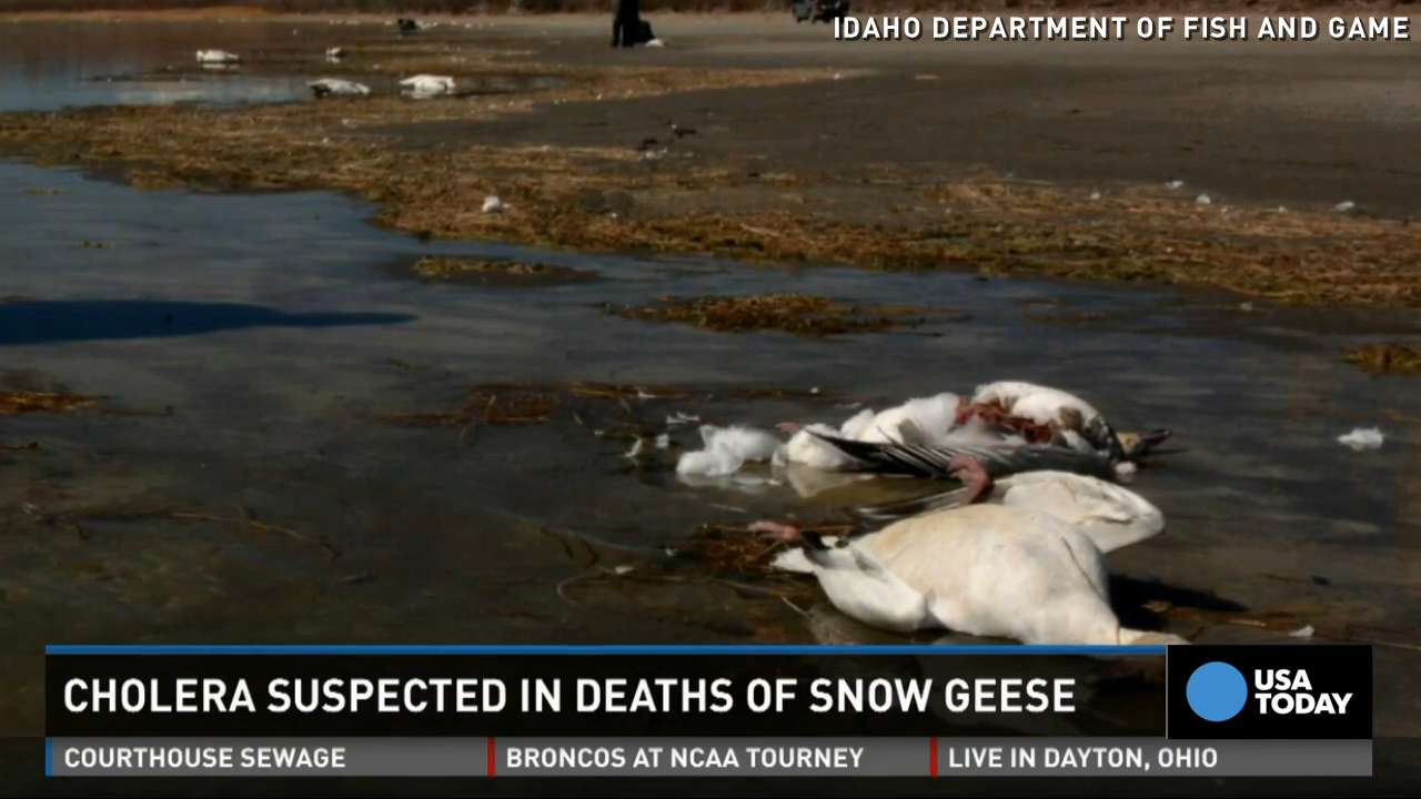 2 000 geese fall dead 39 out of the sky 39 in idaho for Idaho dept of fish and game