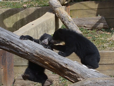 Adorable bear cubs make their zoo debut