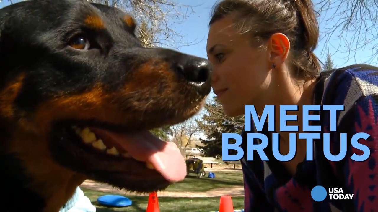 'Brutus' the Rottweiler walks again on four new 'paws'