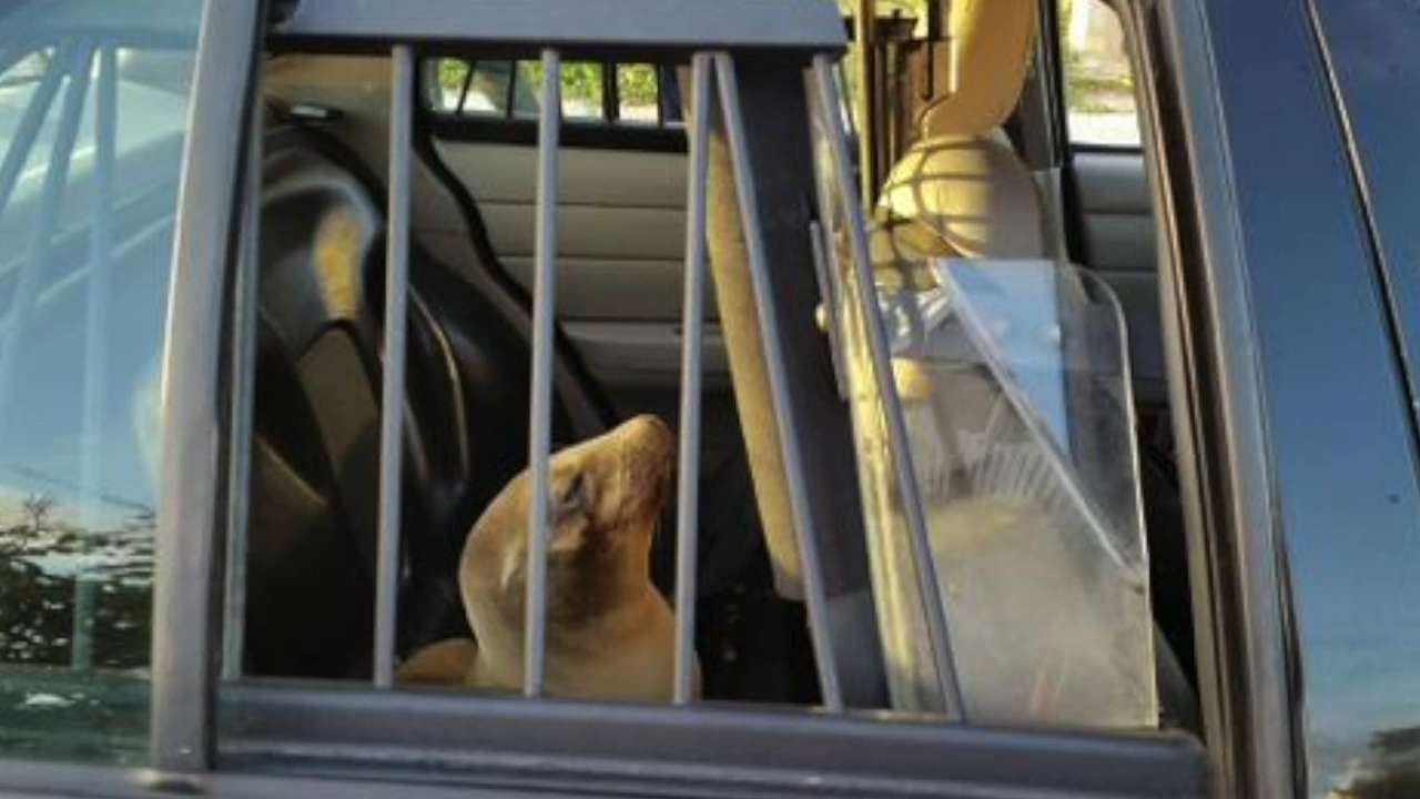 Sea lion pup apprehended by police for school trespassing