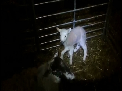 See how this 5-legged lamb walks