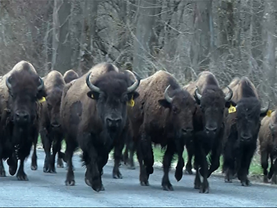 Raw: Buffaloes shot after crossing NY highway