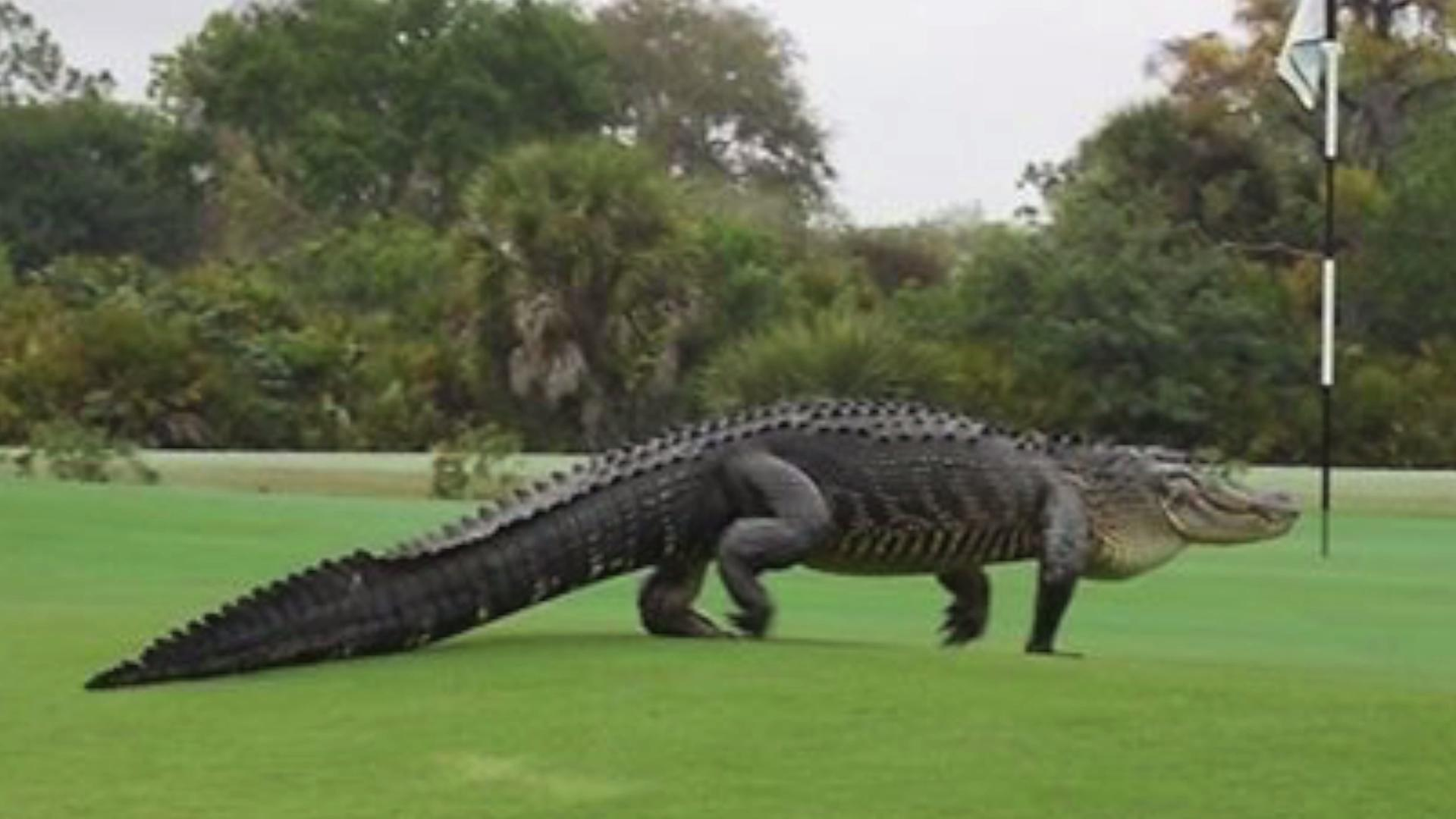 Massive Alligator Spotted at Florida Golf Club