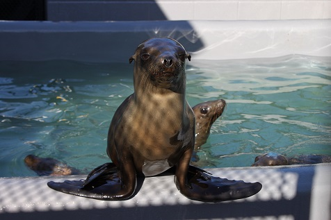 A stranded sea lion pup lying next to a car on street in San Francisco's Marina District on April 30, 2015. Rescuers form the Marine Mammal Center netted the 11-month-old male and returned him to the rehabilitation facility in nearby Sausalito, just a month after he was released into the Pacific after being found malnourished and sick on a beach in central California.