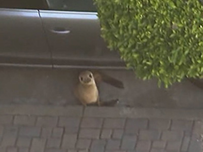 Raw: Sea lion rescued from San Francisco street